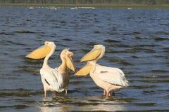 Flock of pelicans on the lake Nakuru. Sunrise morning. Kenya. Group of pelicans on the lake Nakuru. Sunrise morning. Kenya royalty free stock images