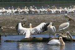 Flock of pelicans on the lake Nakuru. Sunrise morning. Kenya. Group of pelicans on the lake Nakuru. Sunrise morning. Kenya stock photography