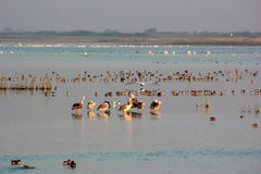 Group of Pelicans in lake. Stock Photography