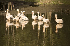 A group of pelicans during the morning sun Stock Photography