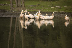 A group of pelicans during the morning sun Royalty Free Stock Photo