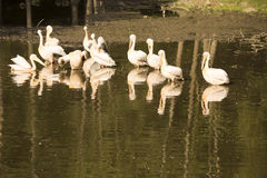 A group of pelicans during the morning sun Royalty Free Stock Photos