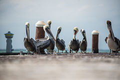 Group of Pelicans over a pier wildlife at Mexico, Holbox island. Stock Photo