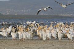 Group of pelicans ,Pelecanus, on the lake Nakuru. Sunrise morning. Kenya. Africa. Group of pelicans on the lake Nakuru. Sunrise morning. Kenya stock image