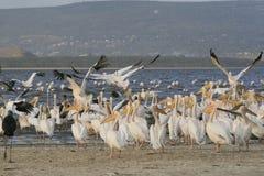 Group of pelicans ,Pelecanus, on the lake Nakuru. Sunrise morning. Kenya. Africa. Group of pelicans on the lake Nakuru. Sunrise morning. Kenya royalty free stock photos