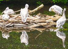 Group of pelicans in the pond Royalty Free Stock Images