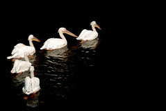 A group of pelicans Stock Photos