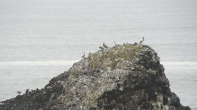 A group of Pelicans on a rock off the Pacific coast in Oregon. Royalty Free Stock Images