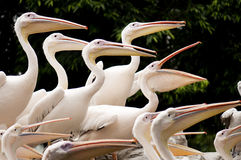 A group of pelicans. Standing on rocks all facing the same direction, waiting to be fed Stock Photos