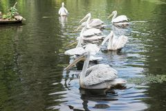 Group of pelicans on the lake. Group of pelicans swim on the lake Royalty Free Stock Photography