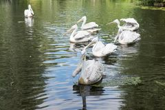 Group of pelicans on the lake. Group of pelicans swim on the lake Royalty Free Stock Images