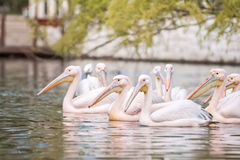 Group of pelicans swimming together Stock Photography