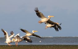 Group of pelicans taking flight Royalty Free Stock Photos
