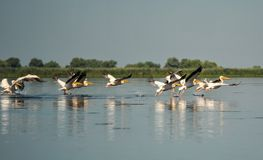 Group of pelicans taking flight.Wild flock of common great pelicans taking flight. Pelecanus onocrotalus royalty free stock photos