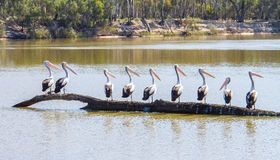 Pelicans in a line standing on a log Stock Photos
