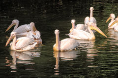 Group of pelicans on the water. Bevy of pelicans foating on the water stock photos