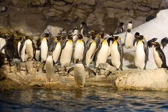 Group of penguins. Standing at water Royalty Free Stock Photos