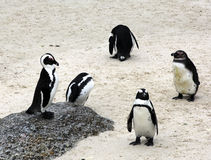 Group of penguins. Welcoming each other Stock Photos