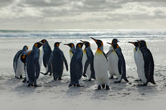 Group of penguins, going from white sand to sea, artic animals in the nature habitat, dark blue sky, Falkland Islands. Wildlife sc. Ene from nature Royalty Free Stock Image