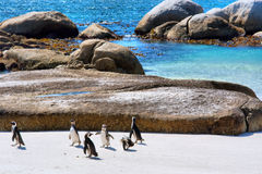 Group of penguins plays on beach Royalty Free Stock Photos