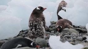 A group of penguins rest on pebbles in Antarctica. Andreev. A group of penguins rest on pebbles in Antarctica. Two penguins lie on stones among pieces of the stock video footage
