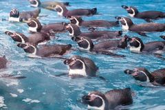 Group of penguins swimming together royalty free stock photography