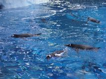 Group of penguins swimming together on the top of the water royalty free stock photography