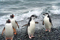 Penguins waddling in from the sea Royalty Free Stock Photo