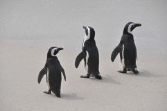 Group of penguins walking together on beach Stock Image