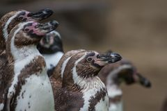 Group of penguins watching alertly stock images