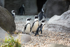 Group of penguins Royalty Free Stock Photo
