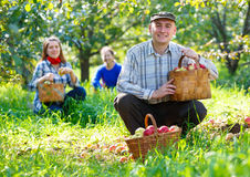 Group of people gathers apple harvest Royalty Free Stock Image