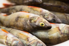 Group of perches. River fish close-up. Stock Image