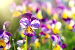 Group of perennial yellow-violet Viola cornuta, known as horned pansy or horned violet royalty free stock photos