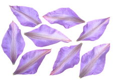 Group of petals of clematis flower Stock Photography
