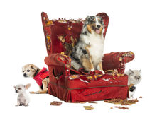Group of pets on a destroyed armchair, isolated. On white Royalty Free Stock Photo