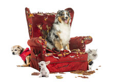 Group of pets on a destroyed armchair, isolated Royalty Free Stock Images