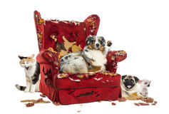 Group of pets on a destroyed armchair, isolated Royalty Free Stock Photo