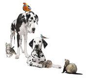 Group of pets : dog, bird, rabbit, cat and ferret. Group of pets : dog, bird, rabbit, cat, ferret in front of white background Royalty Free Stock Image