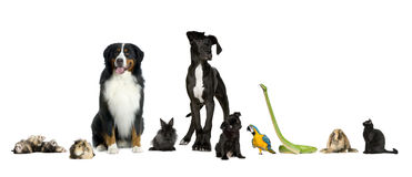 Group of pets - Dog, cat, bird, reptile, rabbit, f. Group of pets in a raw - Dog, cat, bird, reptile, rabbit, ferret- in front of a white background Royalty Free Stock Photography