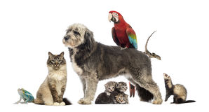 Group of pets,Group of pets - Dog, cat, bird, reptile, rabbit. Isolated on white Royalty Free Stock Photos