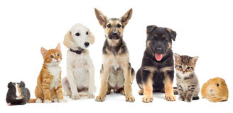 Group of pets. Set pets, Puppy and kitten and guinea pig Royalty Free Stock Photography
