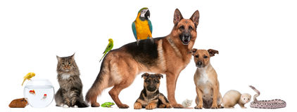 Group of pets sitting in front of white background. Group of pets, dog cat bird, ferret, snake, fish, parrot Stock Images
