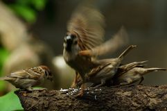 Group of Philippine Maya Bird Eurasian Tree Sparrow or Passer montanus flapping wings perch on tree branch. Close up Royalty Free Stock Photography