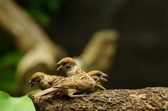 Group of Philippine Maya Bird Eurasian Tree Sparrow or Passer montanus perch on tree branch. Close up Stock Image