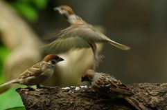 Group of Philippine Maya Bird Eurasian Tree Sparrow or Passer montanus perch on tree branch one fly away. Close up Royalty Free Stock Image