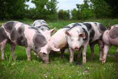Group photo of young pigs on green grass near the farm Royalty Free Stock Images