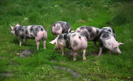 Group photo of young pigs on green grass near the farm Stock Photo