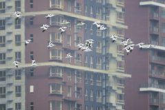 Pied Avocet. A group of Pied Avocet are flying in front of buildings. Scientific name: Recurvirostra avosetta Royalty Free Stock Images