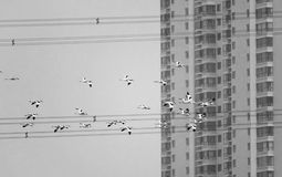 Pied Avocet. A group of Pied Avocet are flying in front of buildings. Scientific name: Recurvirostra avosetta Royalty Free Stock Photography